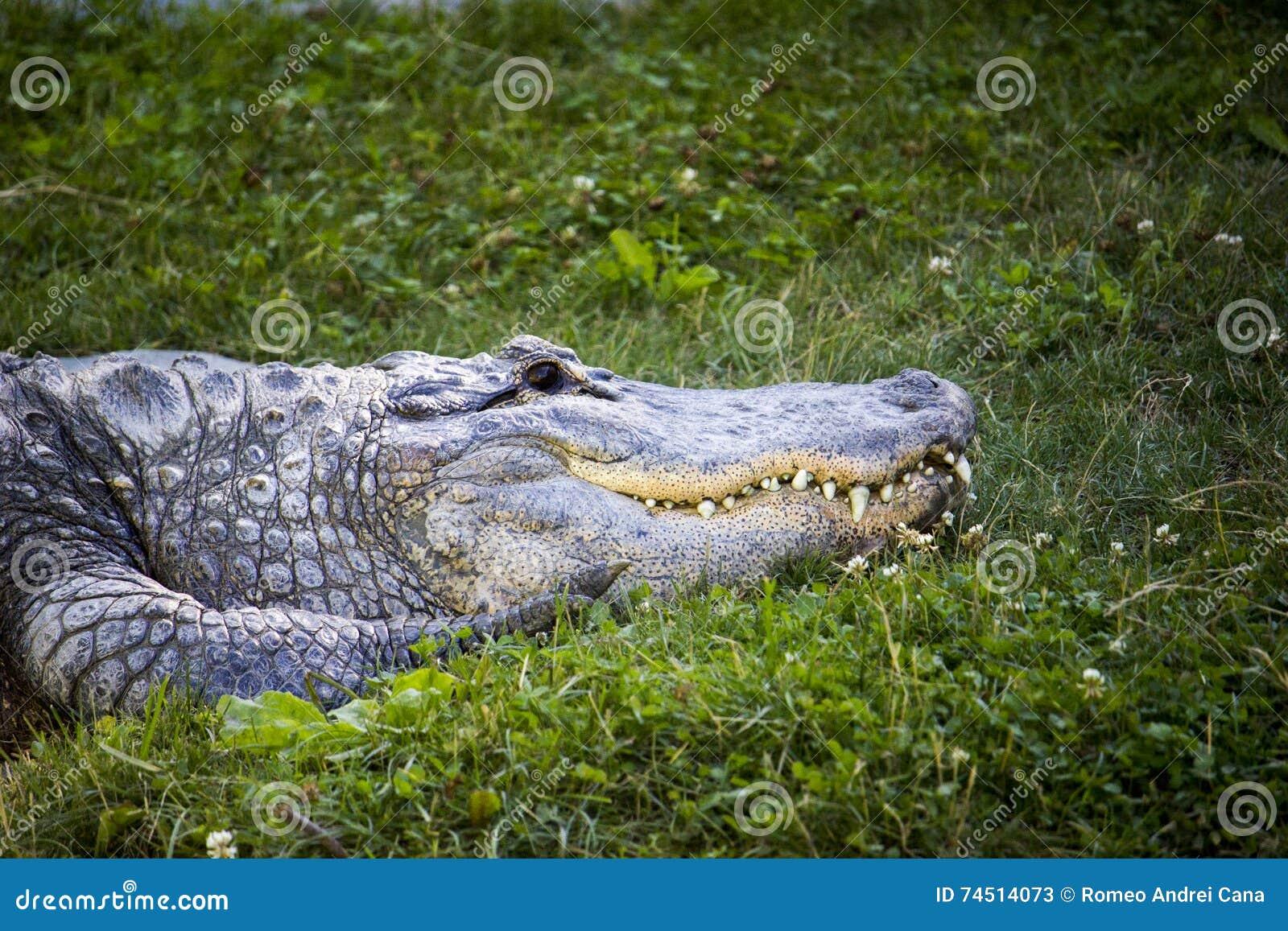 Het rusten alligator