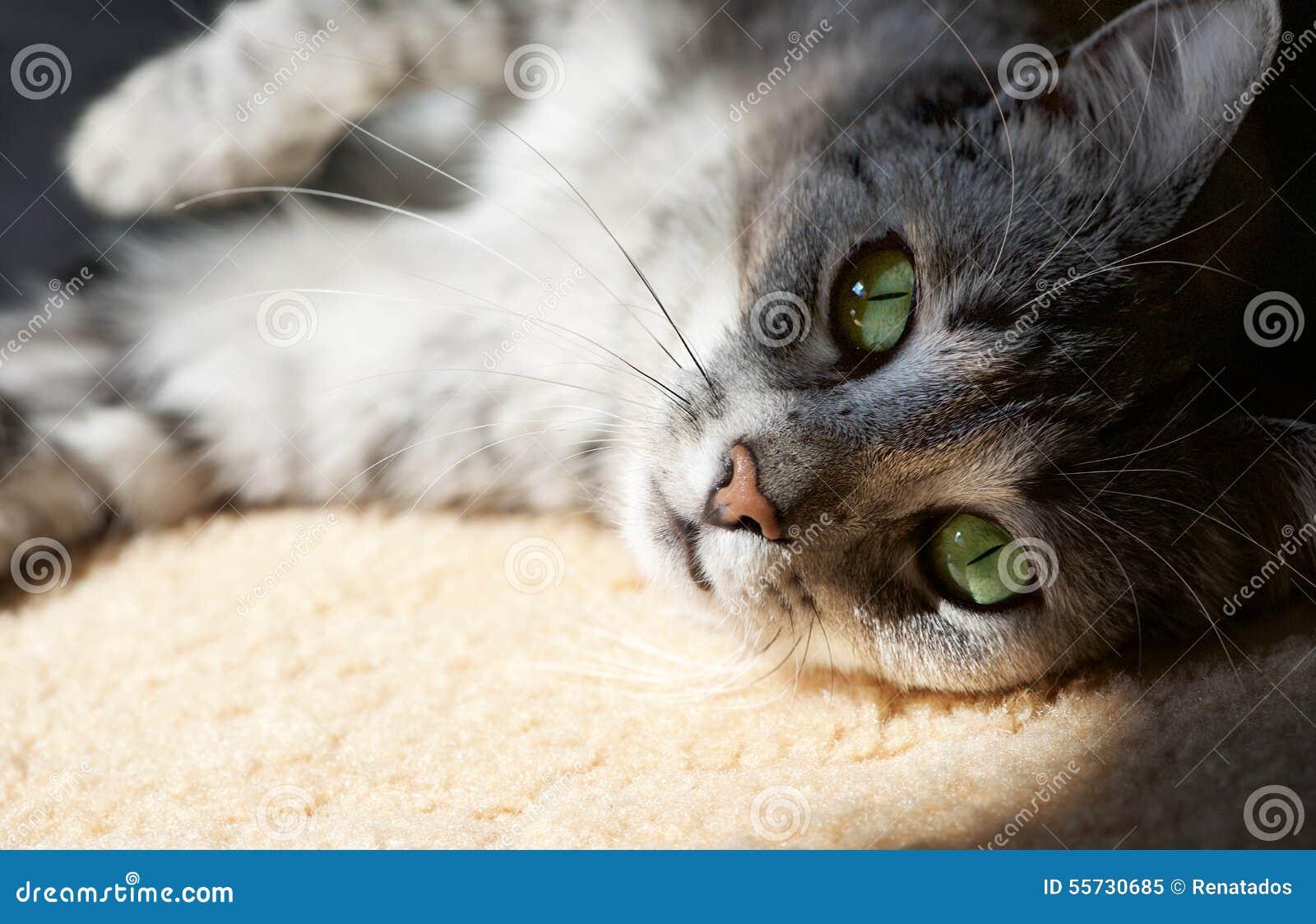 Het rusten kat op natuurlijke huisachtergrond in een schaduw, lui kattengezicht dicht omhoog, kleine slaperige luie kat, huisdier