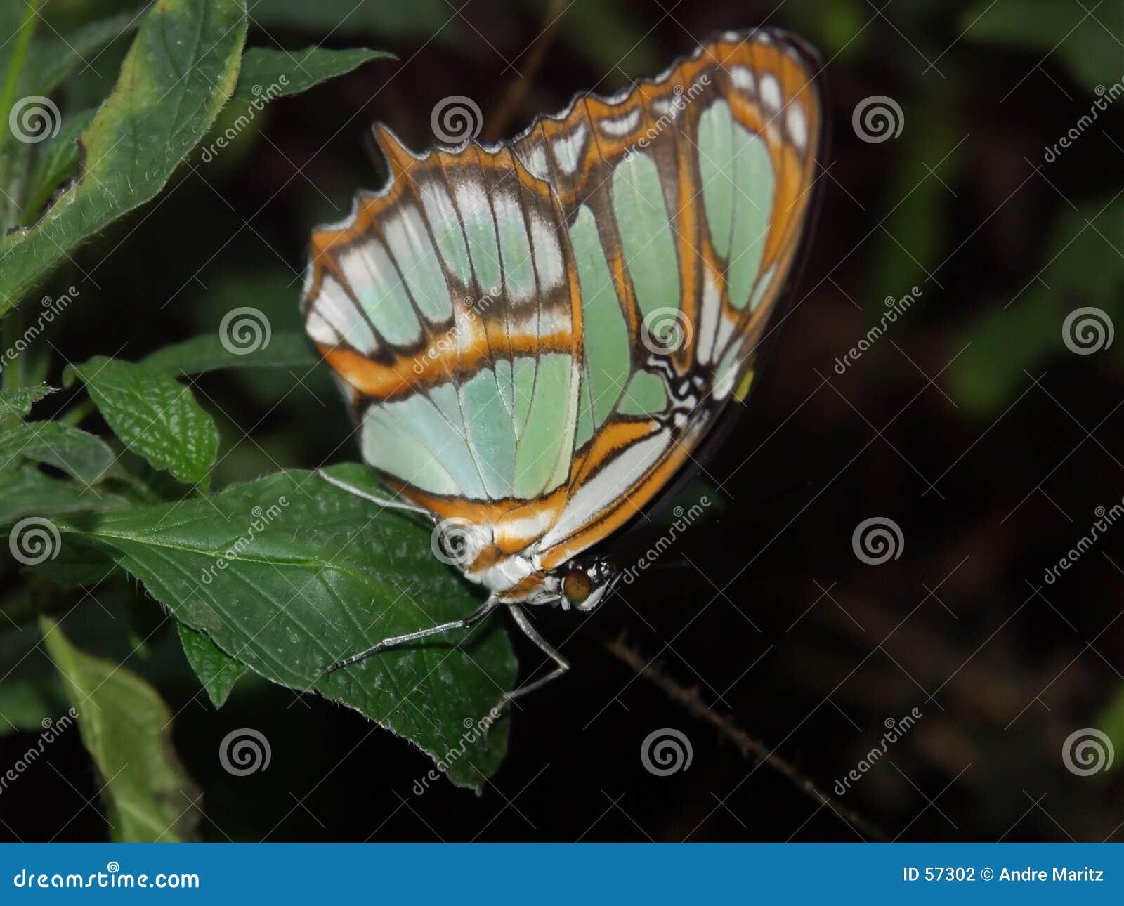 Het rusten van de vlinder