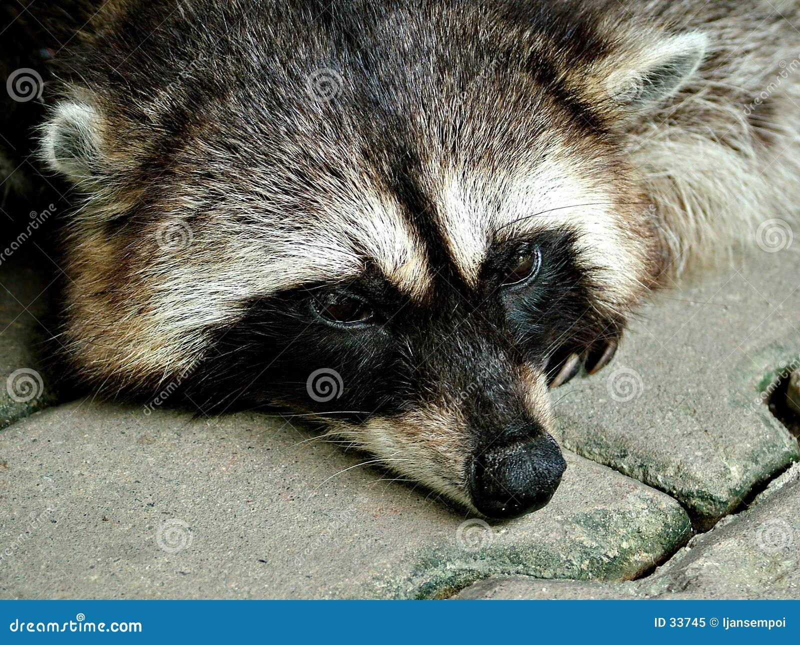 Het rusten van de wasbeer