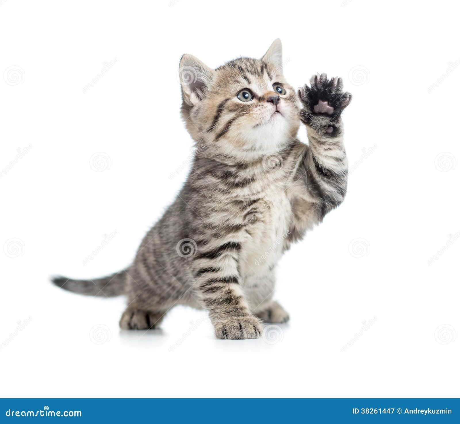 Het Schotse gestreepte katkatje geeft poot en omhoog het kijken