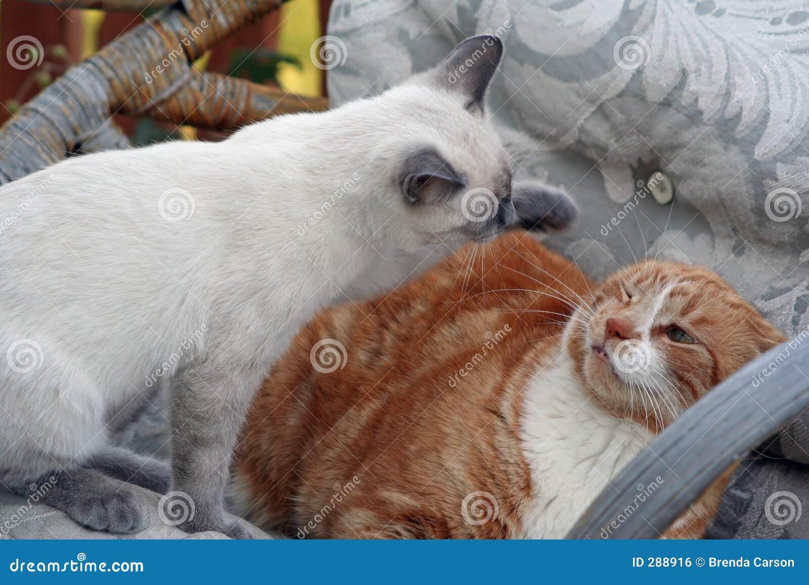 Het Schroot van de kat