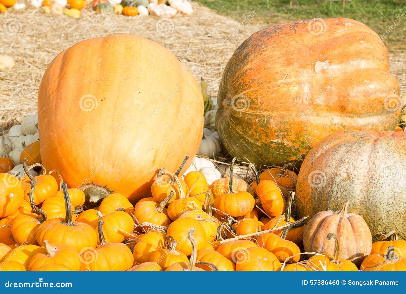 Het seizoen van de pompoenoogst op het landbouwbedrijf