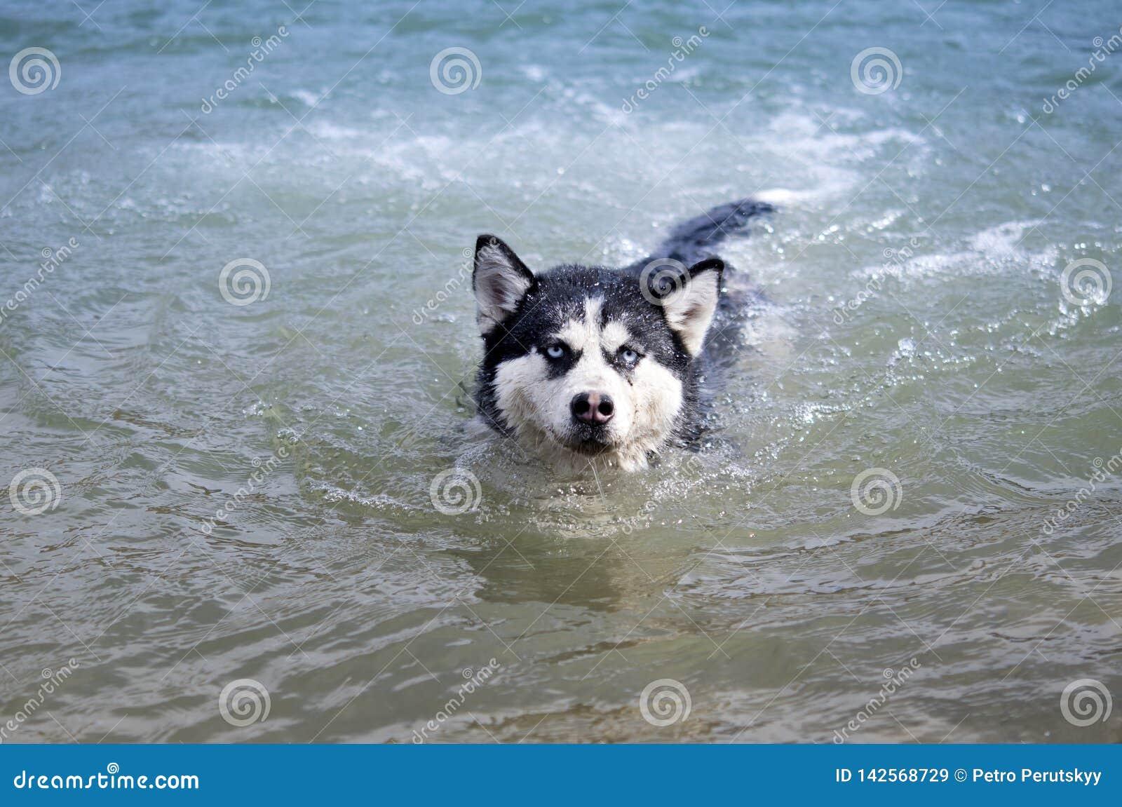 Het Siberische schor zwemmen