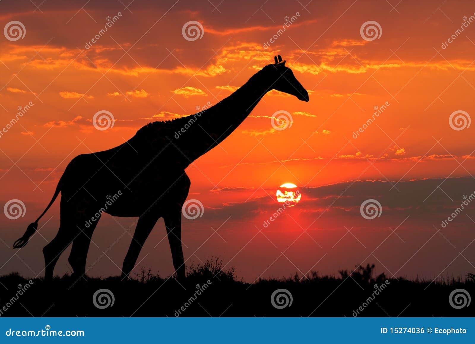 Het silhouet van de giraf