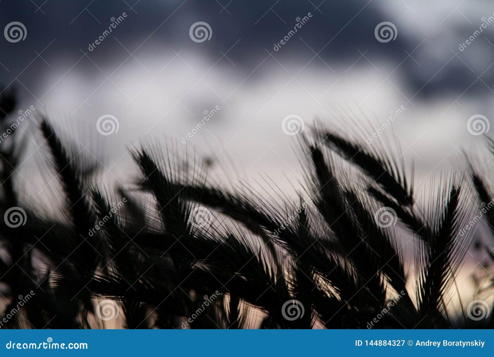 Het silhouet van het tarwegebied
