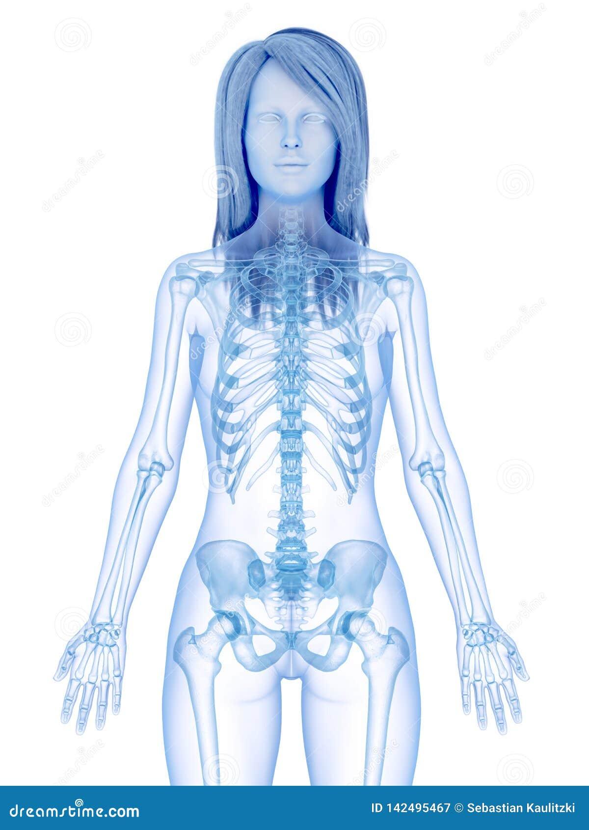 Het skeletachtige hogere lichaam