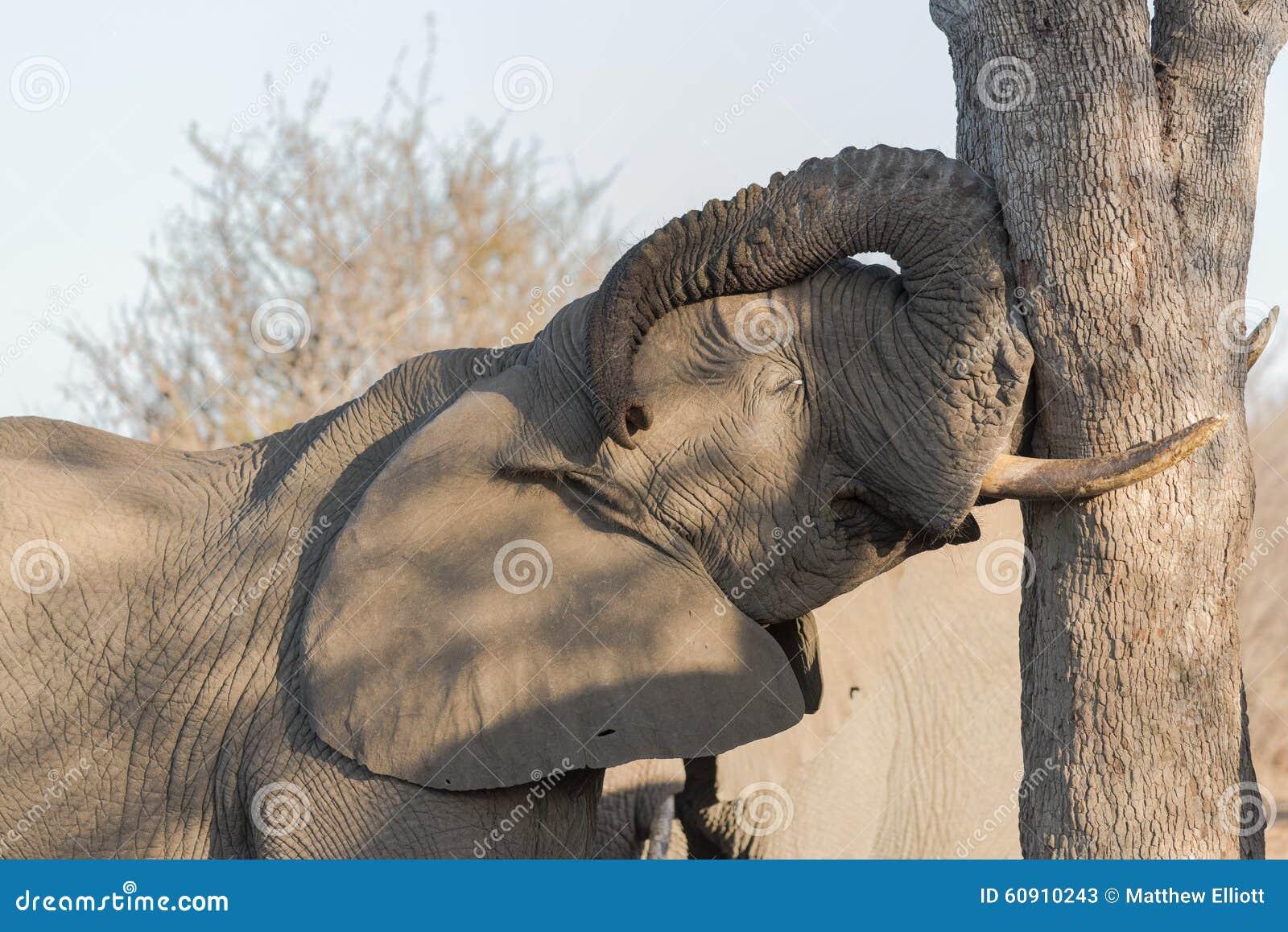 Het sluimeren stierenolifant, Balule-Reserve, Zuid-Afrika