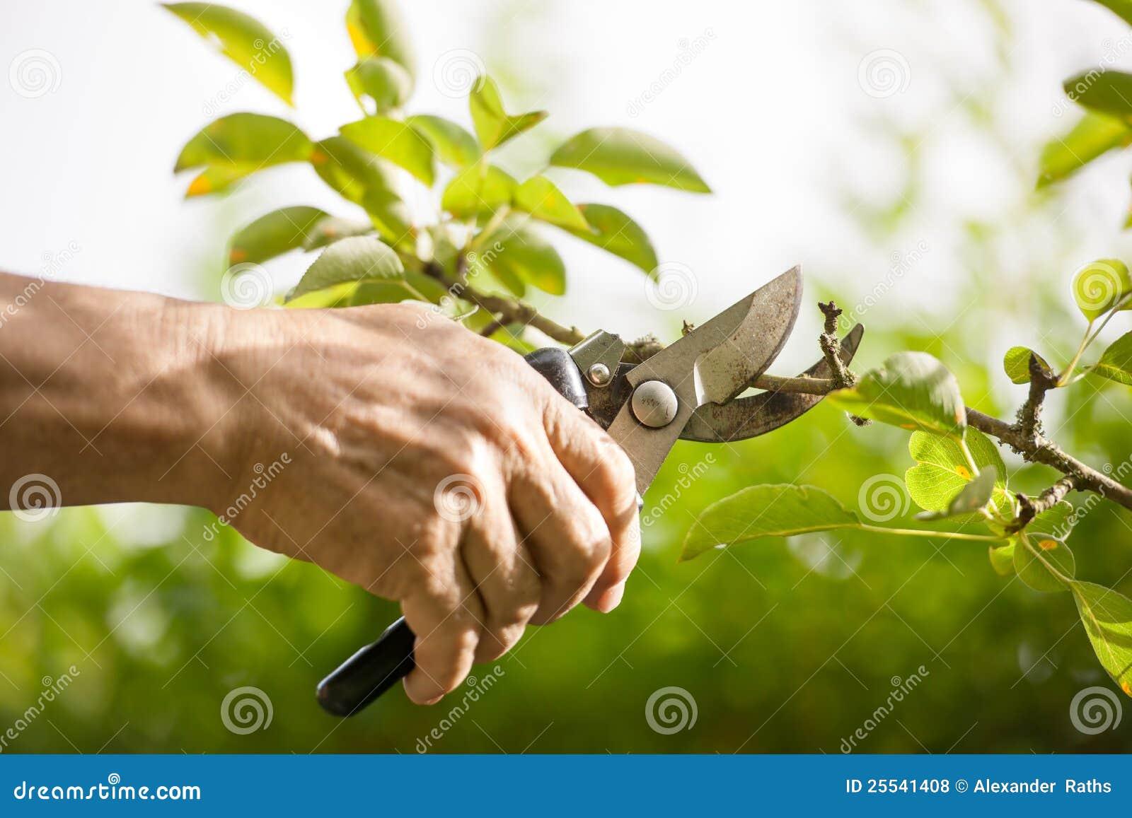 Het snoeien van bomen met snoeischaar