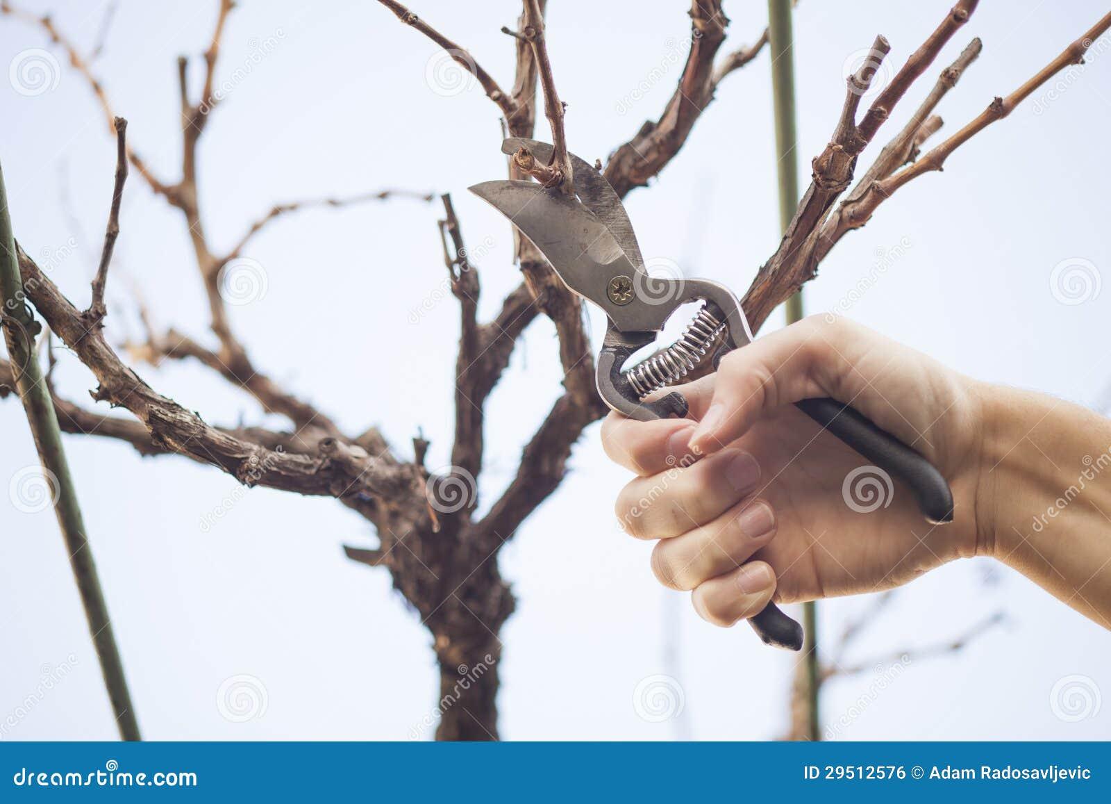 Het snoeien van de druif