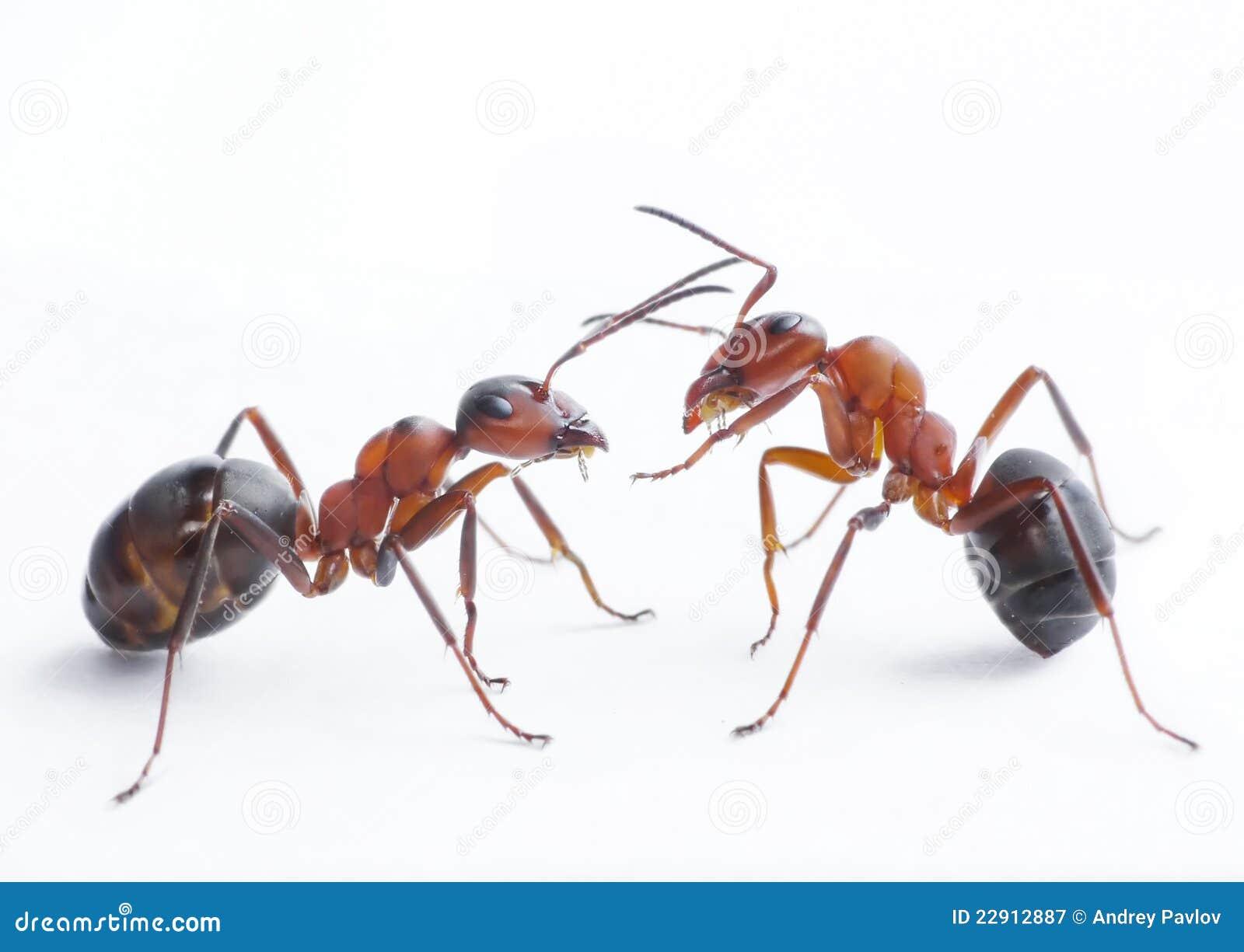 Het spelen van mieren