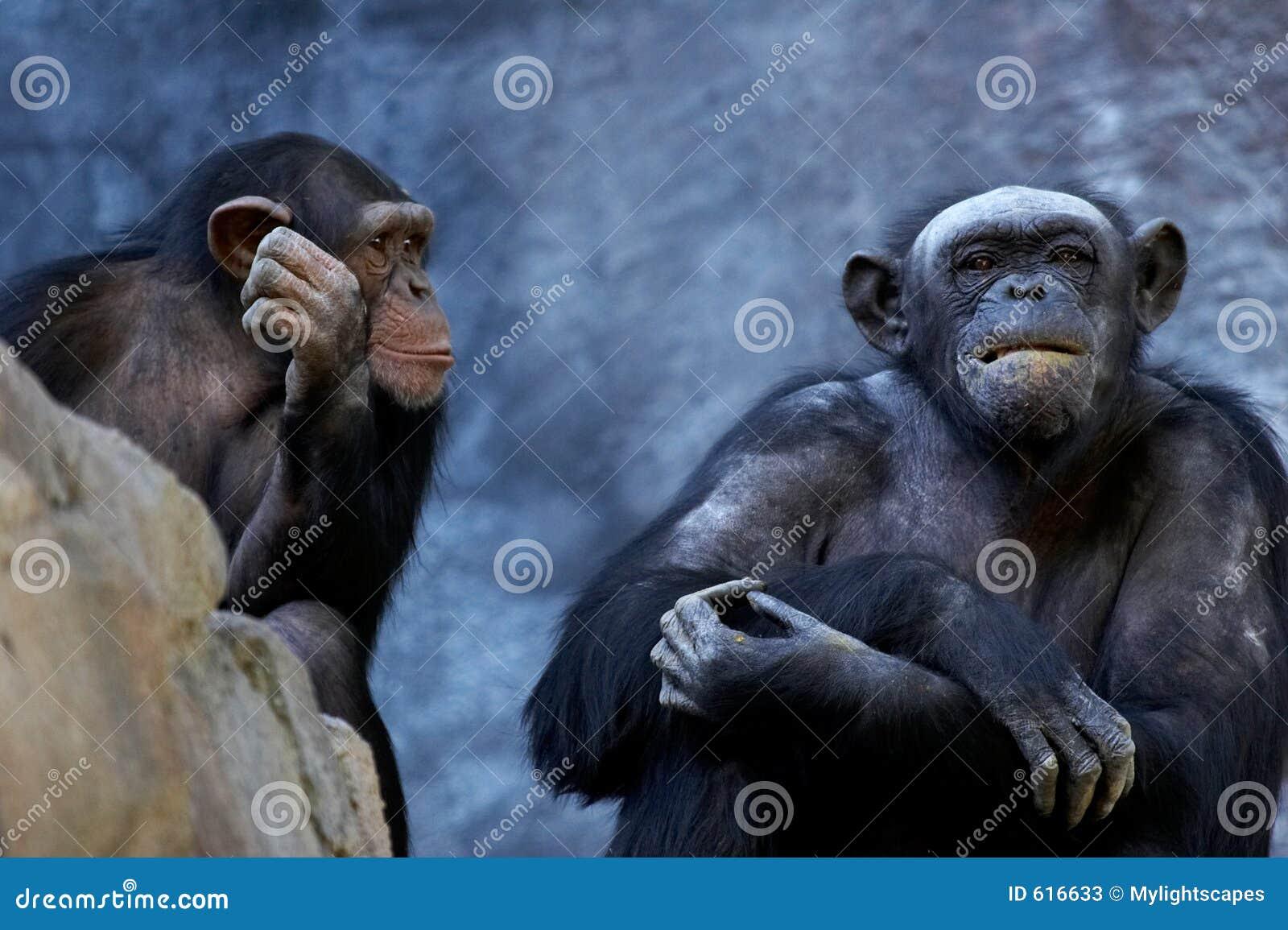 Het spreken van de chimpansee
