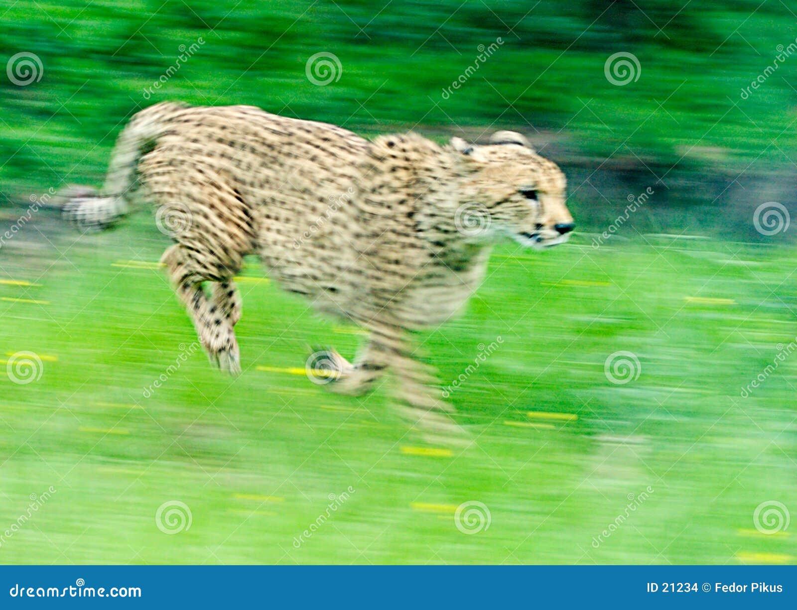 Het sprinten van Jachtluipaard