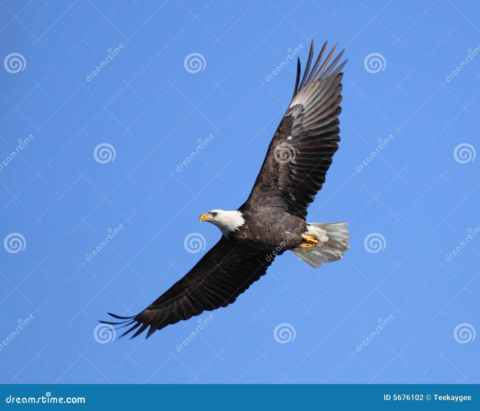 Het stijgen adelaar