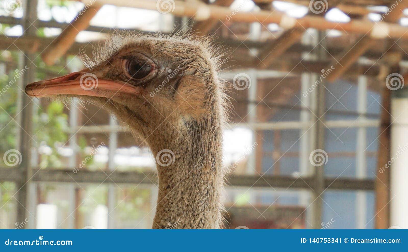 Het struisvogelhoofd van het zijaanzicht