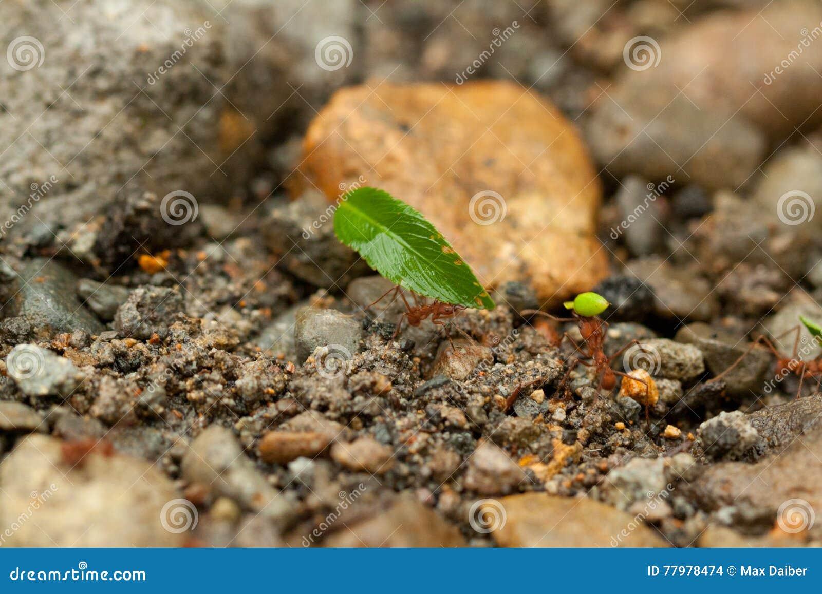 Het teamwerk, mieren van Costa Rica