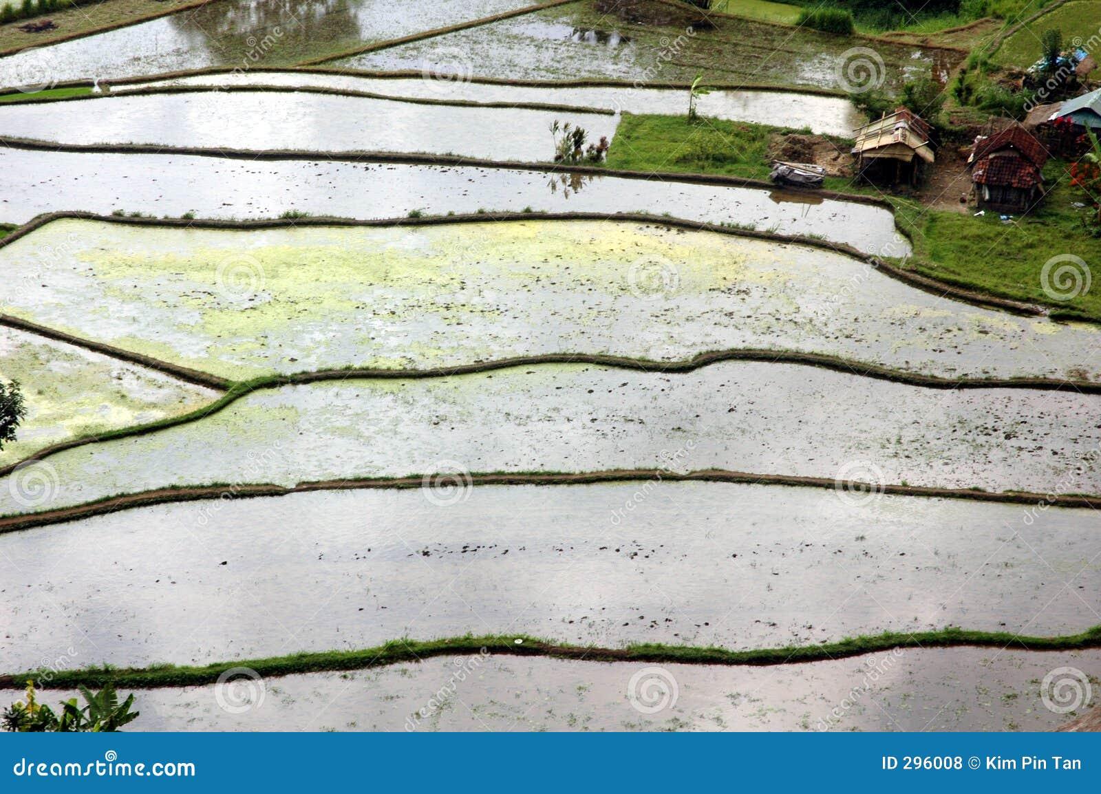 Het terras van de rijst