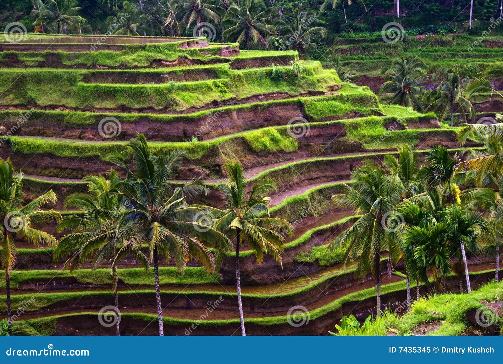 Het terras van de rijst stock afbeelding afbeelding bestaande uit nave 7435345 - Model van het terras ...