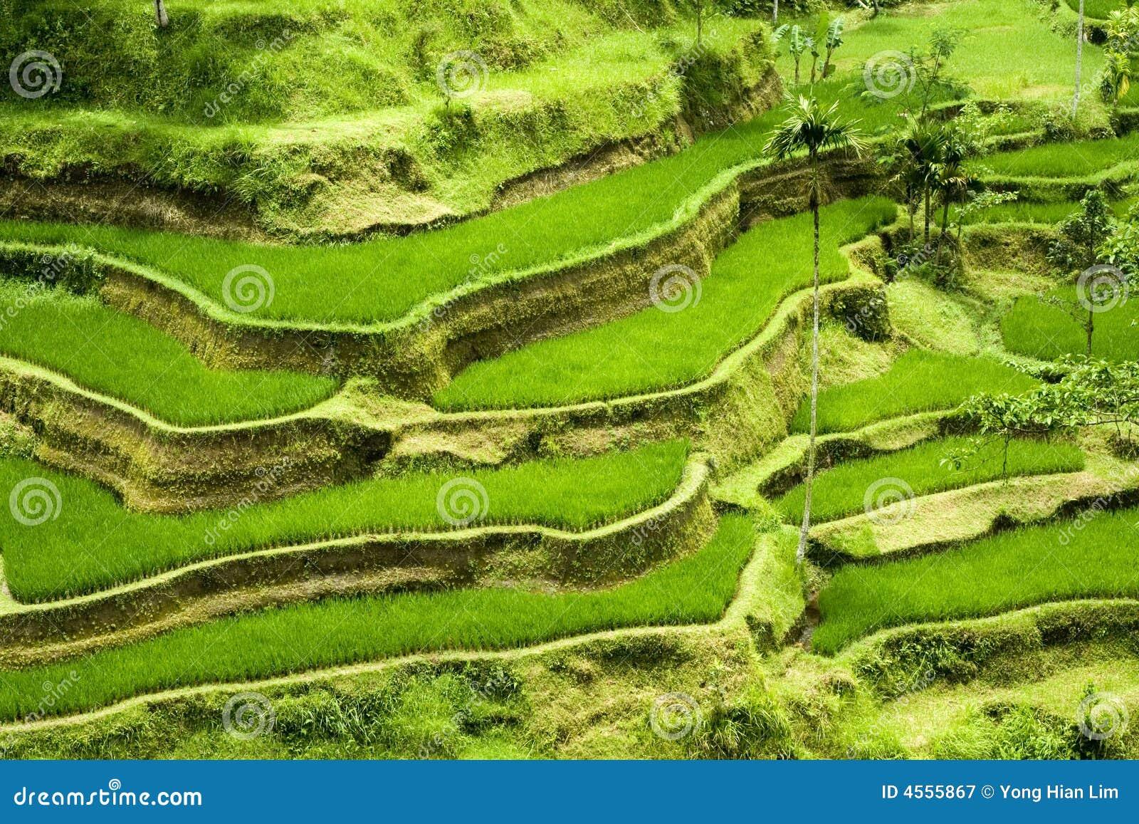 Het terras van de rijst in bali stock afbeelding afbeelding 4555867 - Model van het terras ...