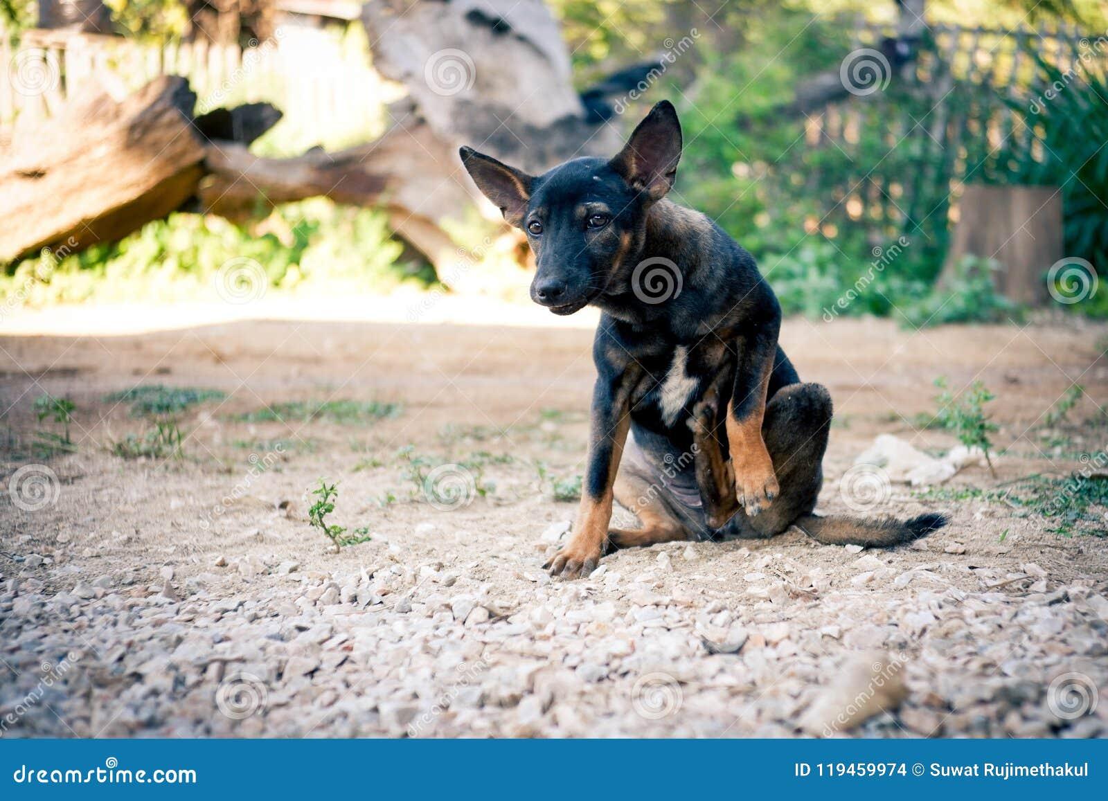 Het Thaise zwarte hond jeukerig krassen zijn been