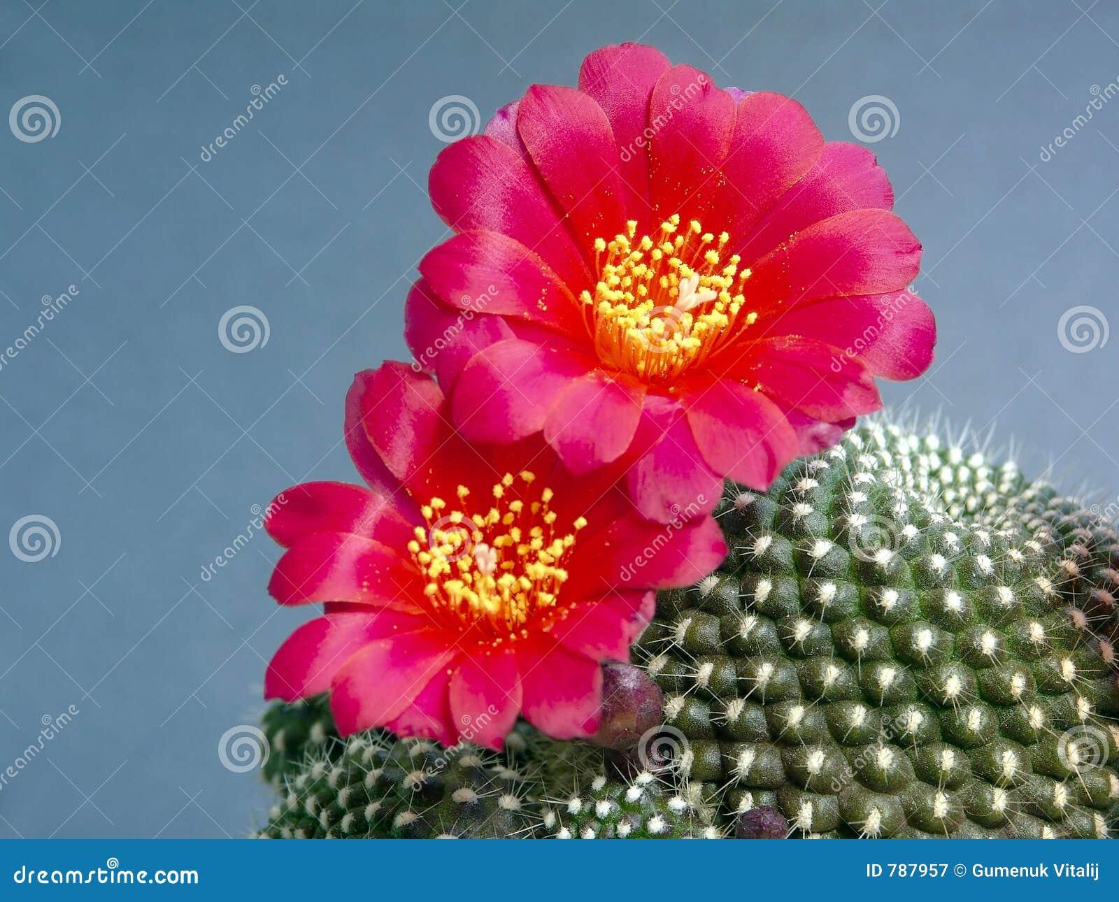 Het tot bloei komen kariusiana van cactusRebutia.