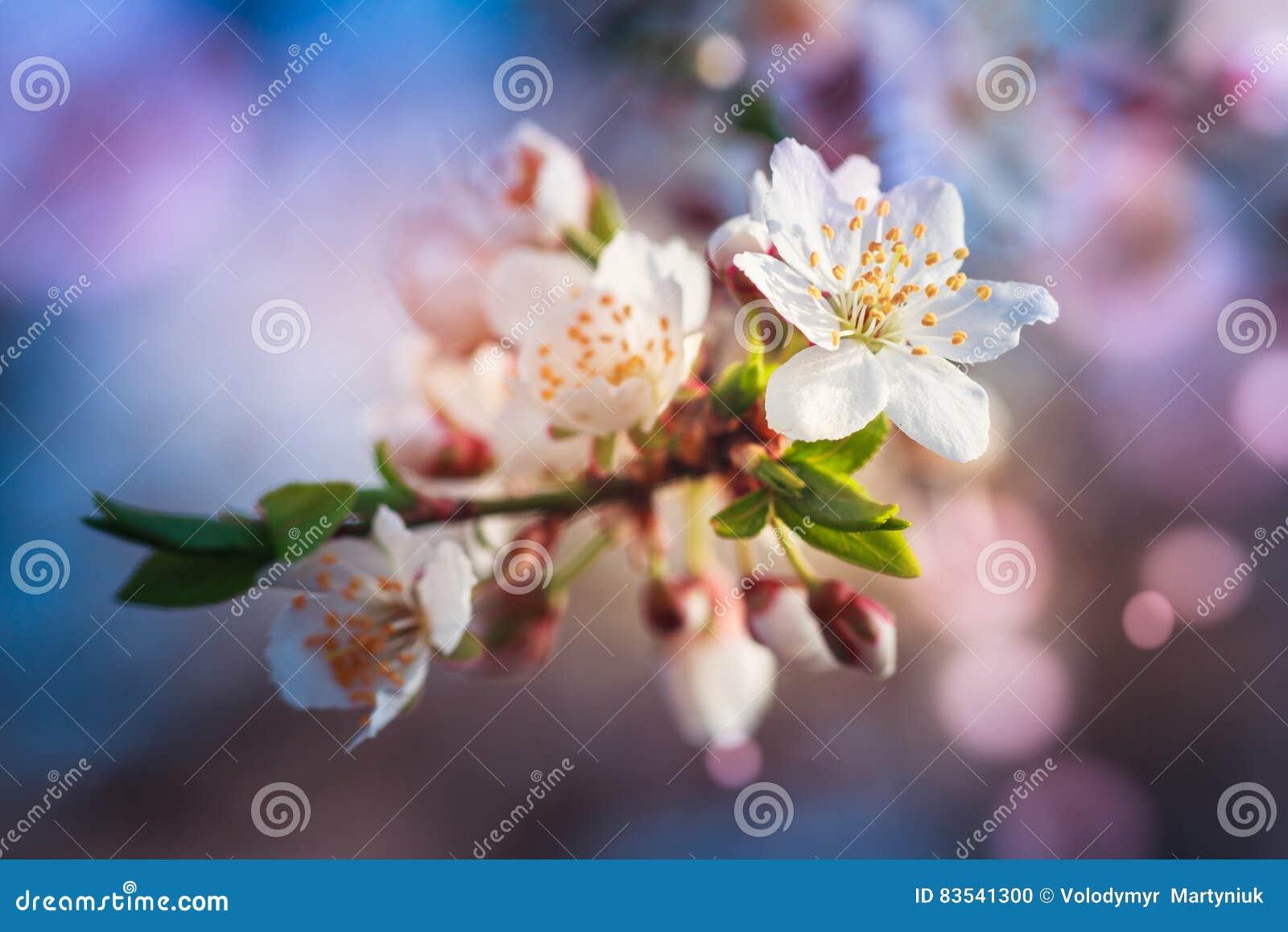 Het tot bloei komen van fruitboom tijdens de lente Meningsclose-up van tak met witte bloemen en knoppen in heldere kleuren