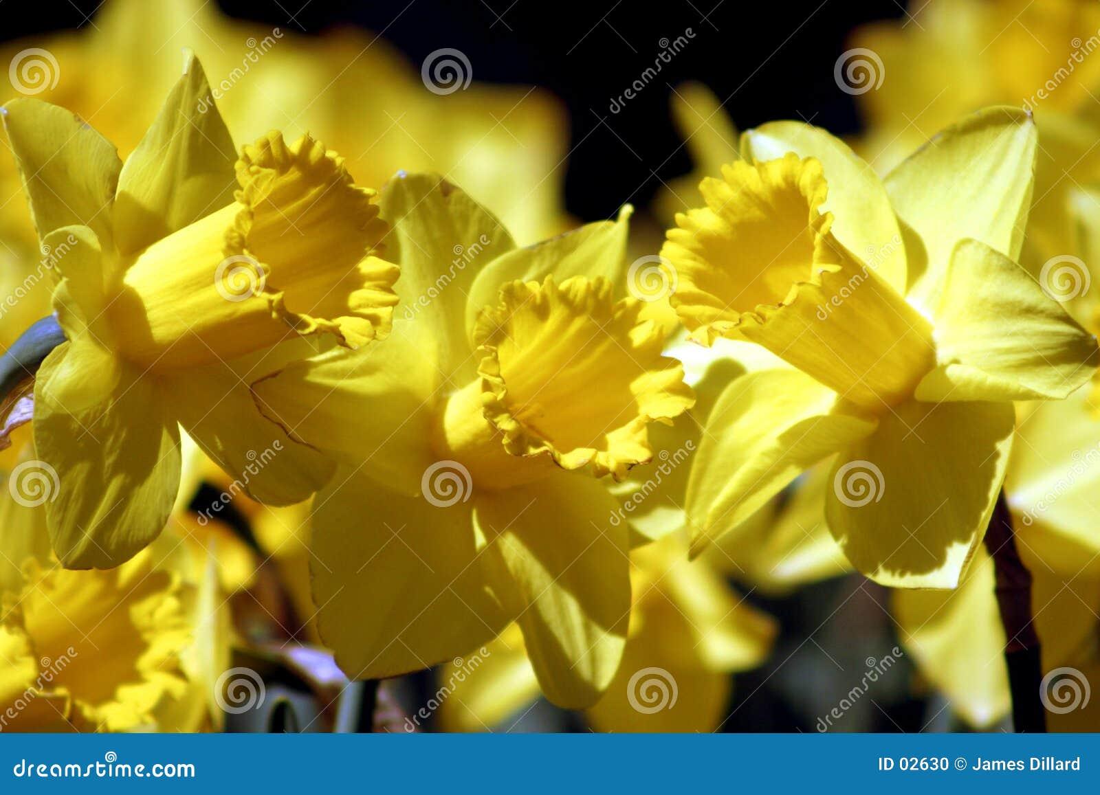 Het Trio van de gele narcis