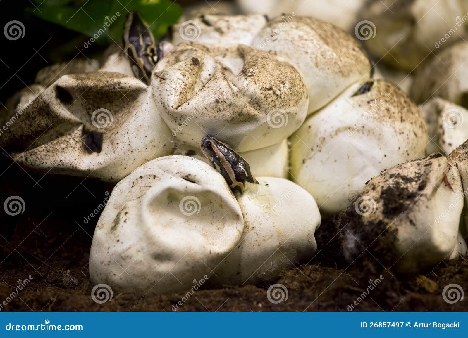 Het Uitbroeden van de python van Ei