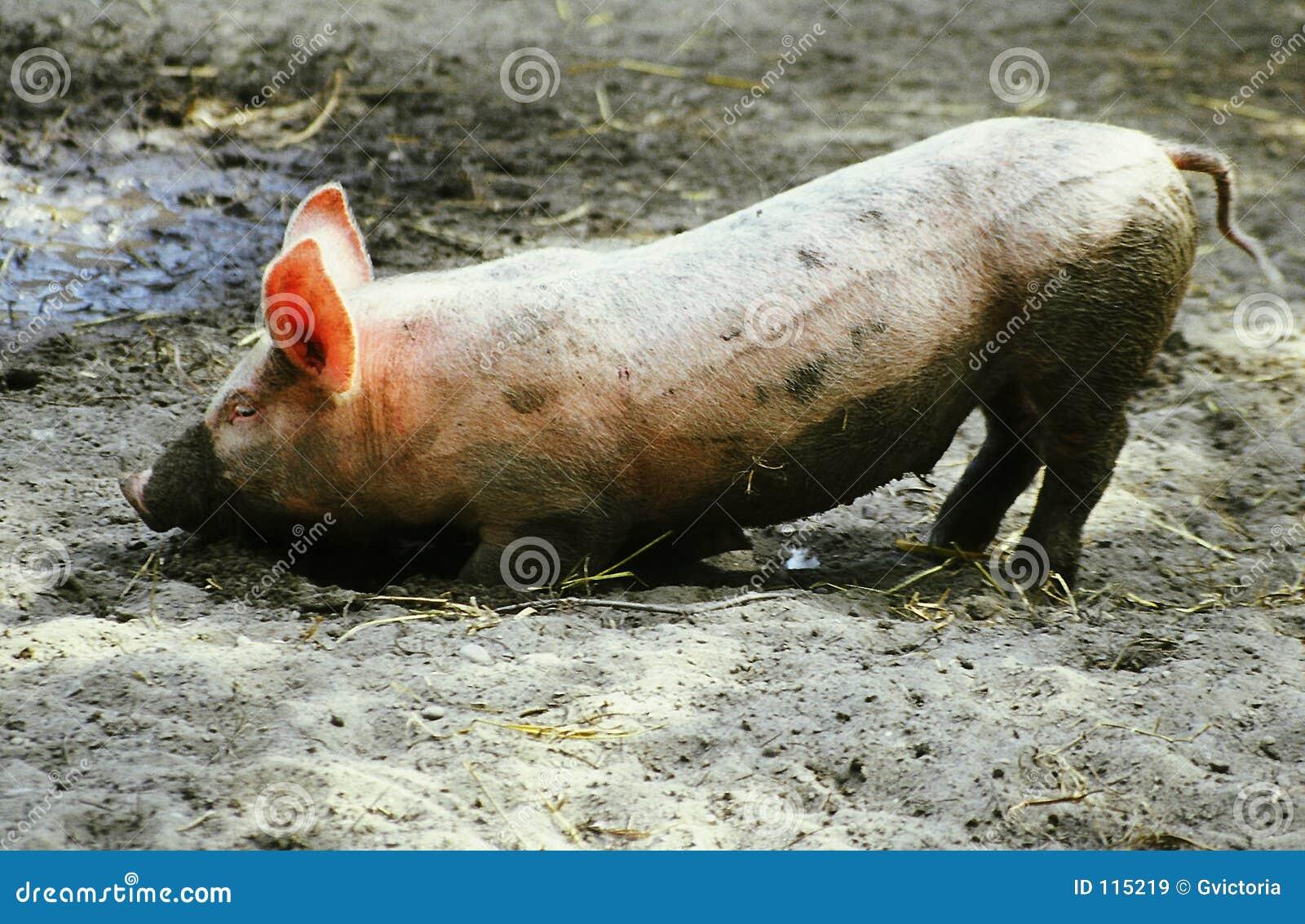 Het varken van het landbouwbedrijf