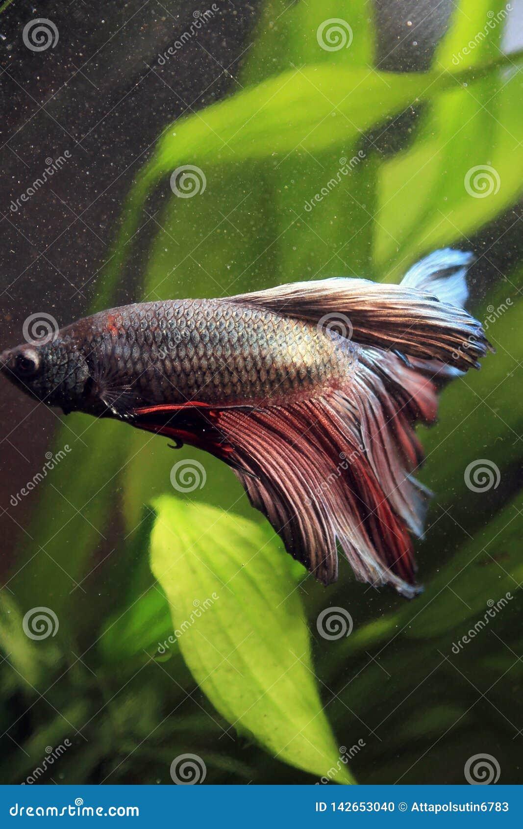 Het vechten vissen Thailand in aquarium