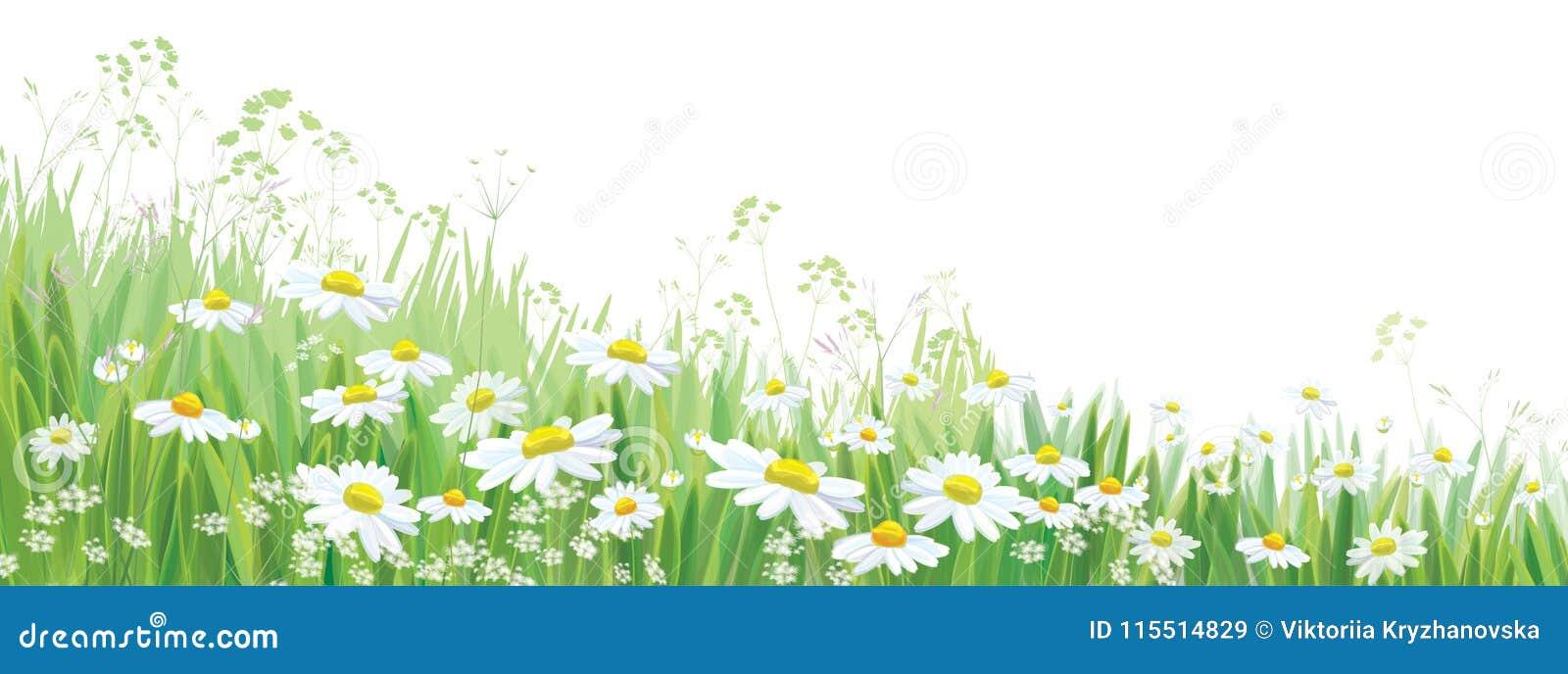 Het vector tot bloei komende madeliefje bloeit gebied