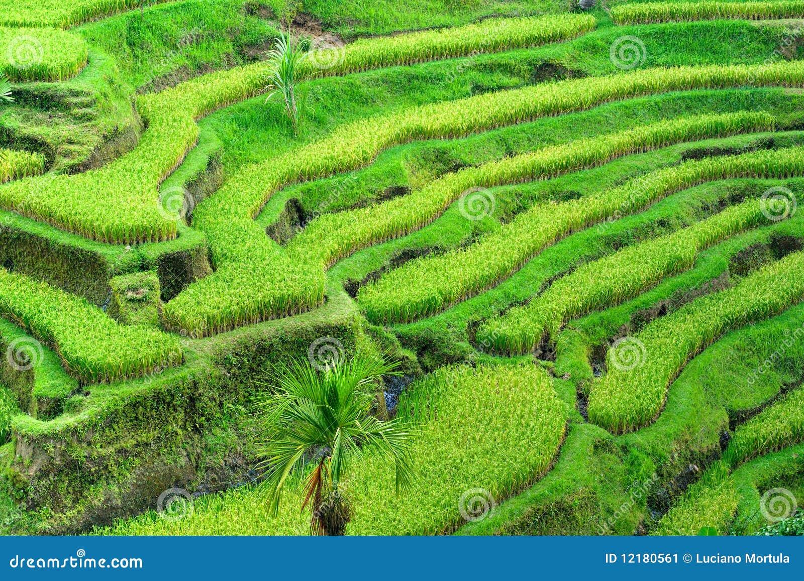 Het verbazende gebied van het Terras van de Rijst, Ubud, Bali, Indonesië