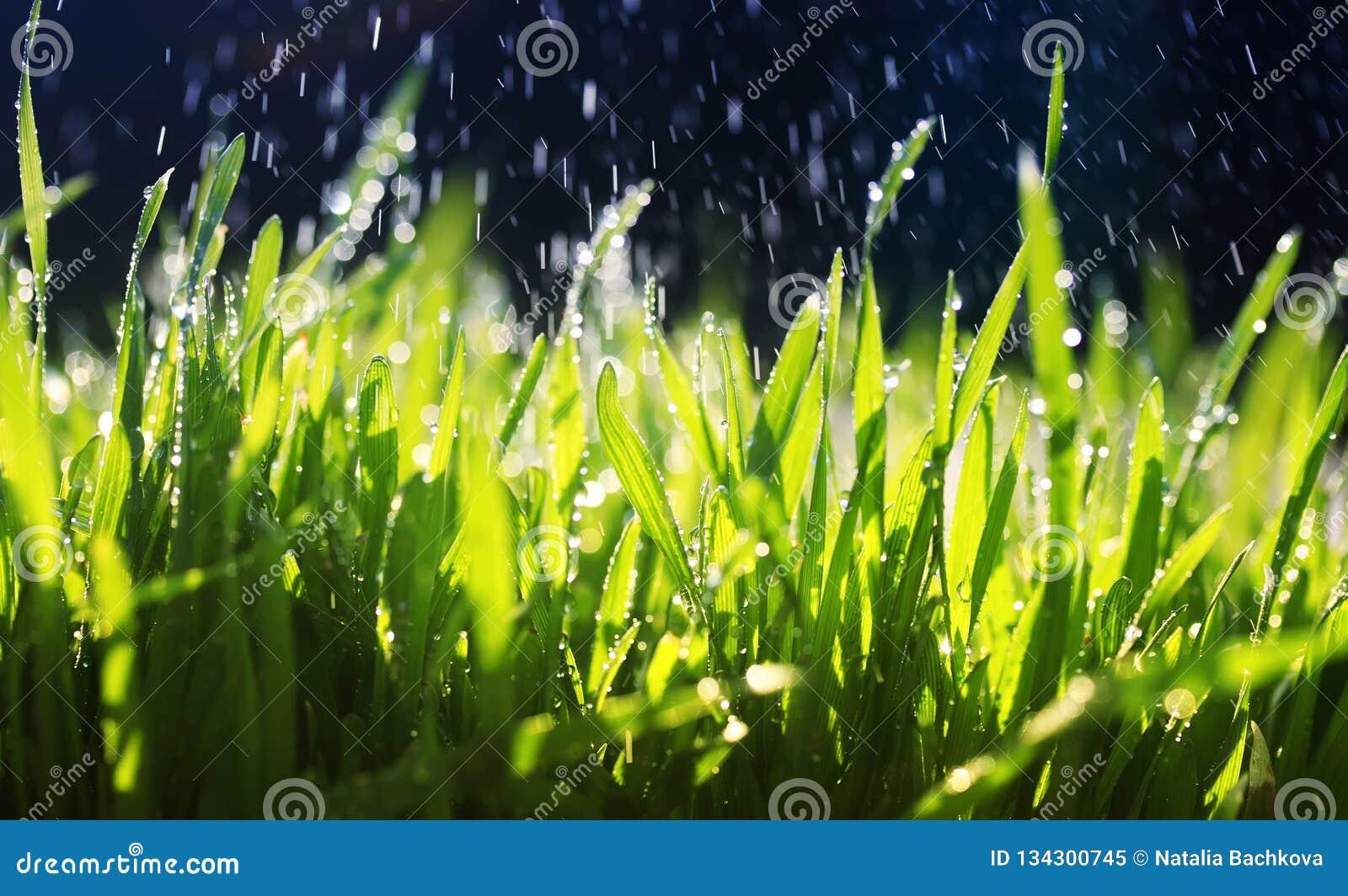 Het verse groene gras maakt zijn manier in de tuin onder de warme dalingen van het morsen van water op een Zonnige dag