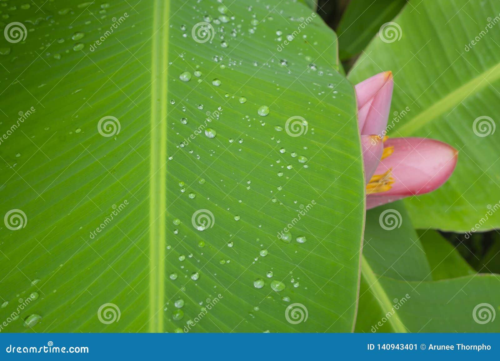 Het verse groene pinnately parallelle patroon van het venationblad met waterdruppeltjes, roze bloemblaadjes van het bloeien Banaa