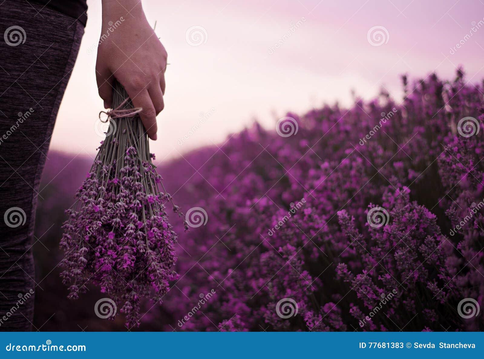 Het verzamelen van een boeket van lavendel Meisjeshand die een boeket van verse lavendel op lavendelgebied houden Zon, zonnevel,