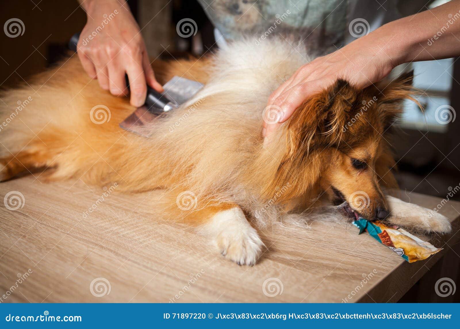 Het verzorgen met een hondborstel op een herdershond van Shetland