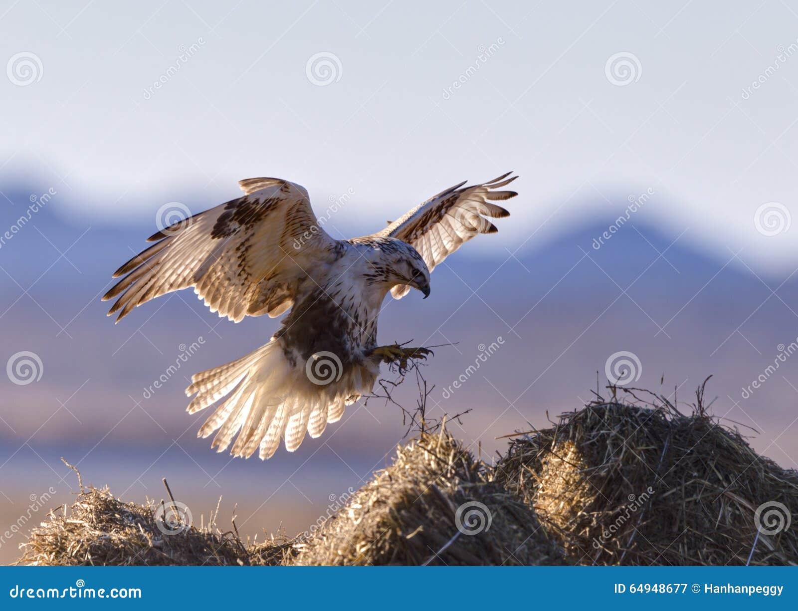Het vliegen Buizerd