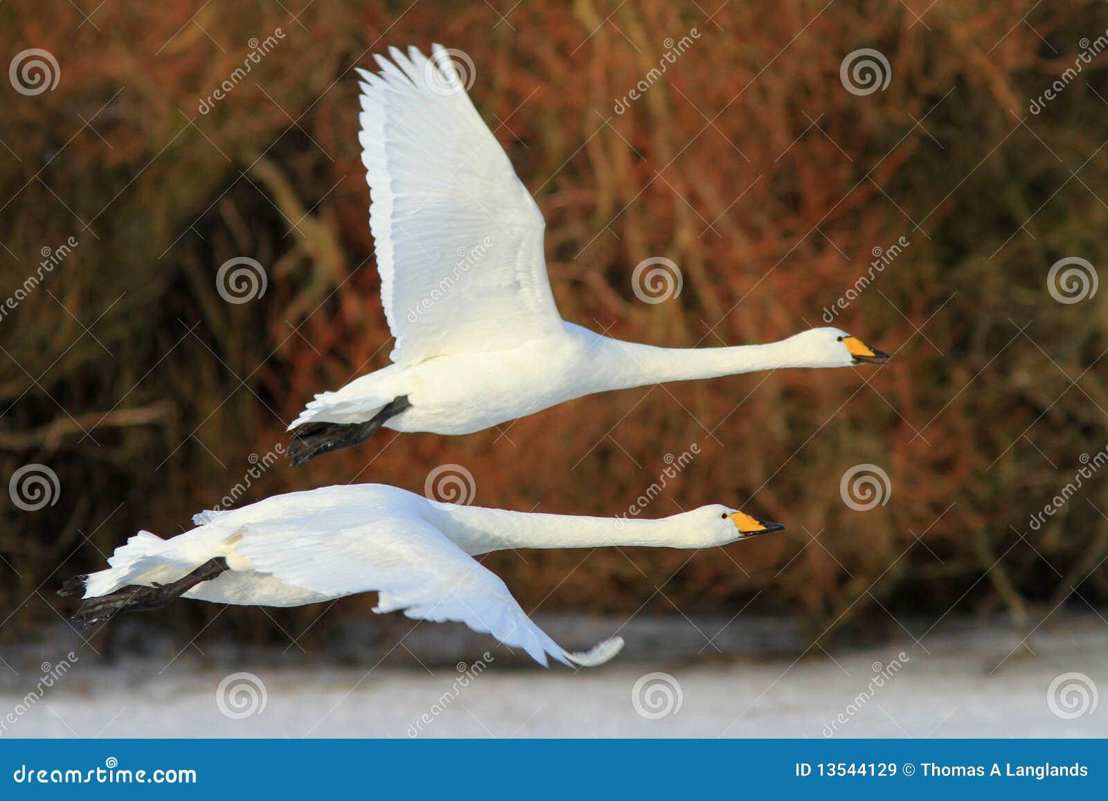 Het vliegen met de Zwanen
