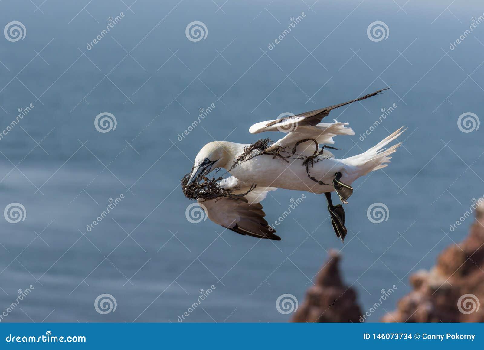 Het vliegen Noordelijke Gannett, Helgoland, Duitsland