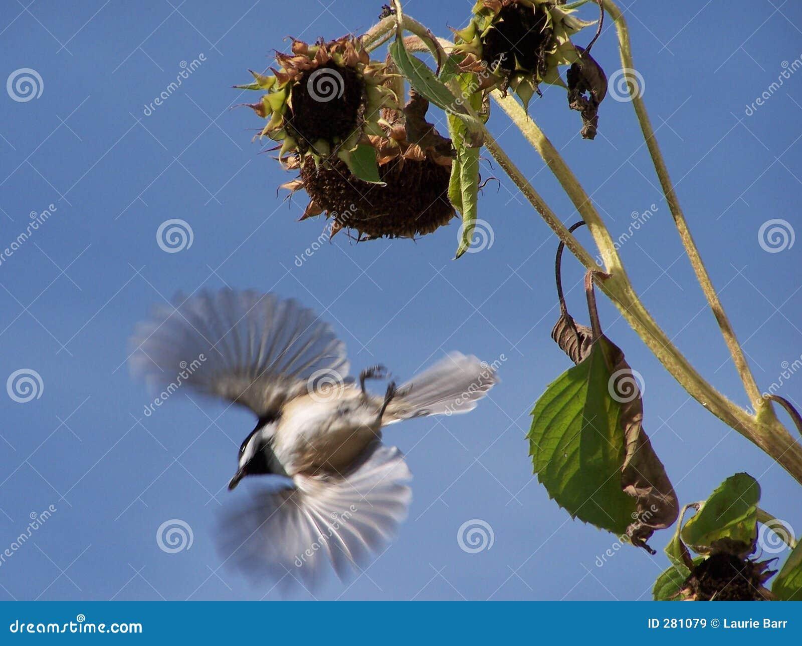 Het vliegen van Chickadee