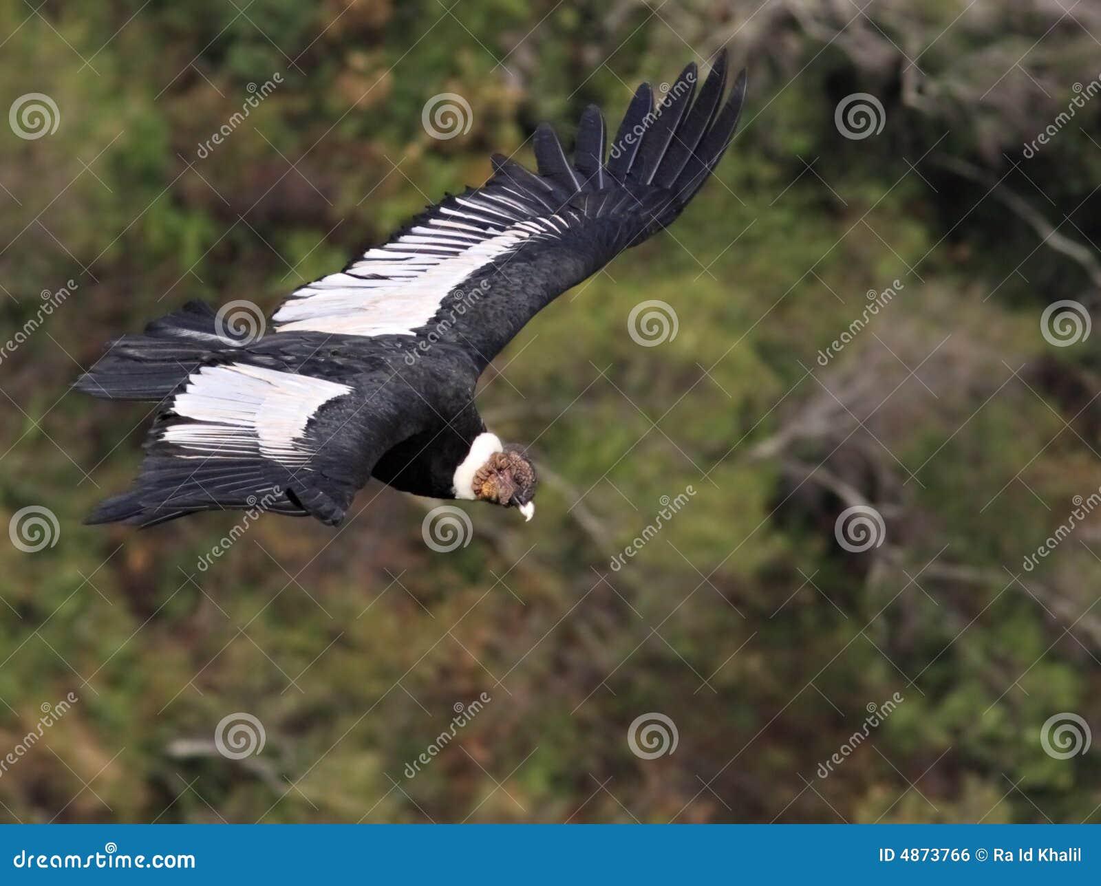 Het Vliegen van de condor