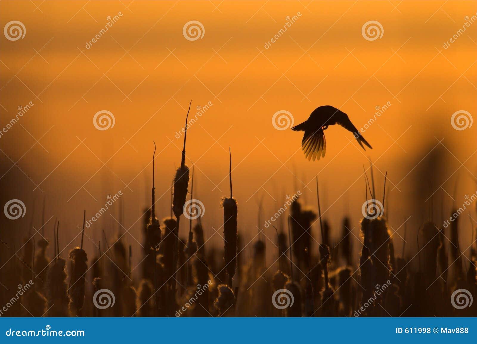 Het vliegen van de merel