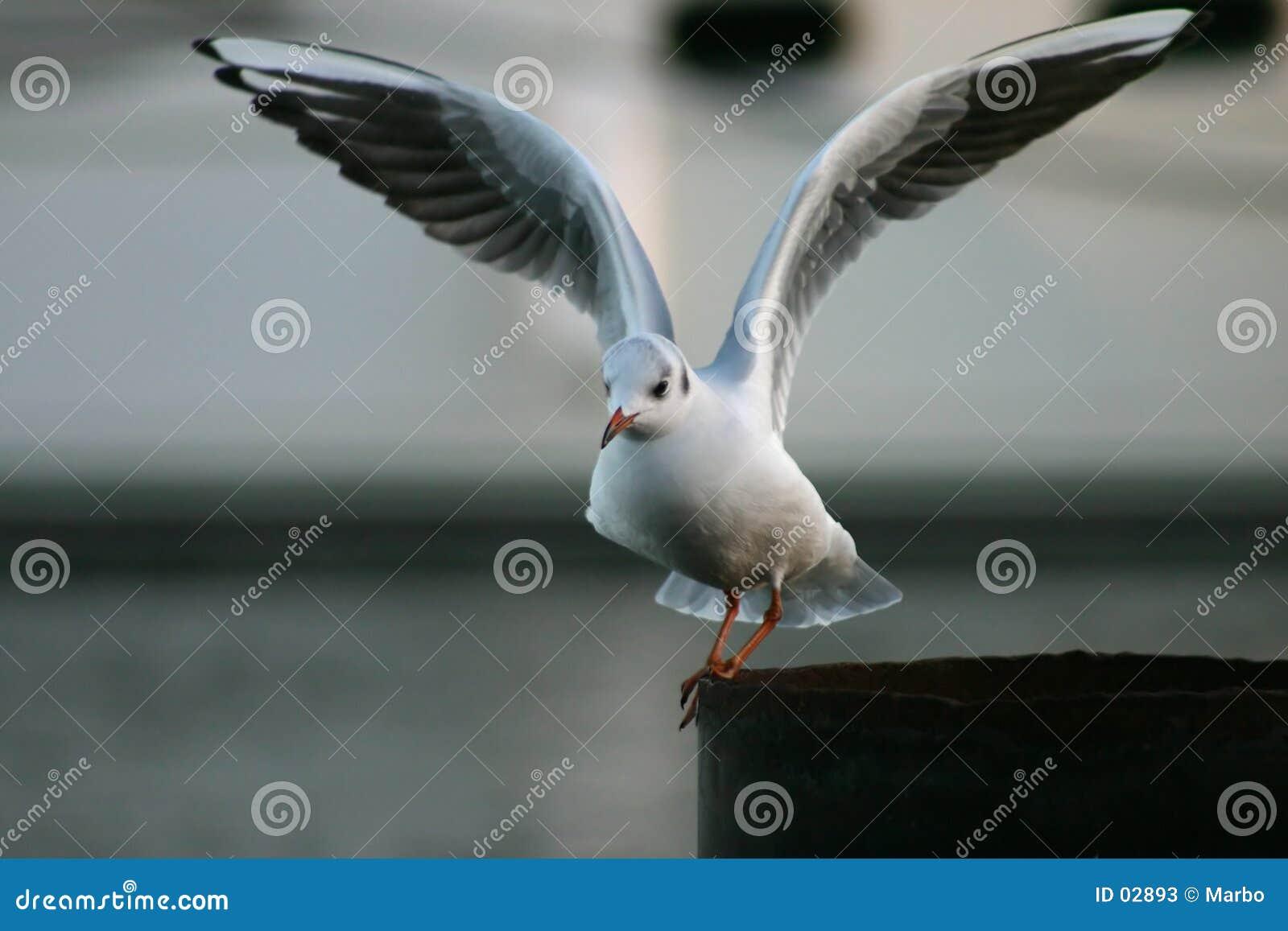 Het vliegen van de zeemeeuw