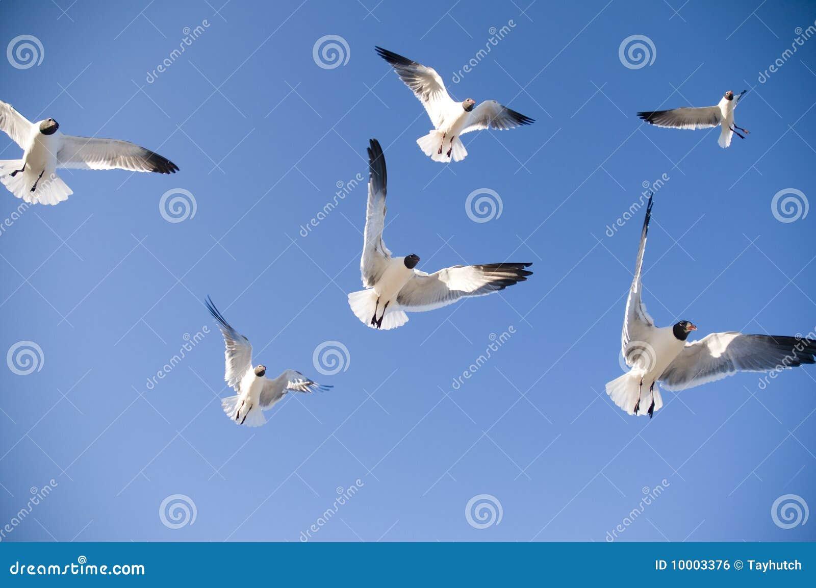 Het vliegen van zeemeeuwen