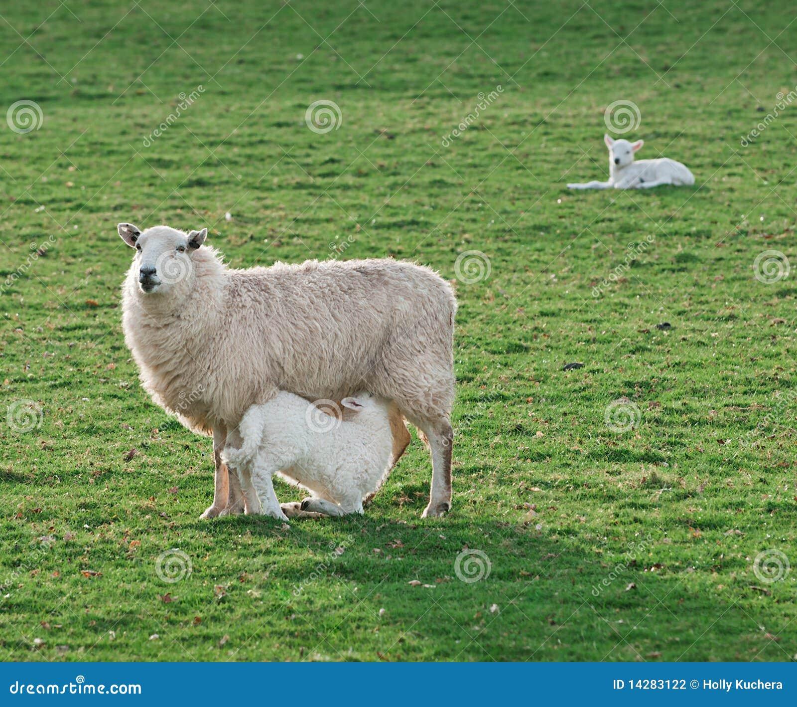 Het voeden Tijd de Ooi & het Lam - van Schapen (Ovis aries)