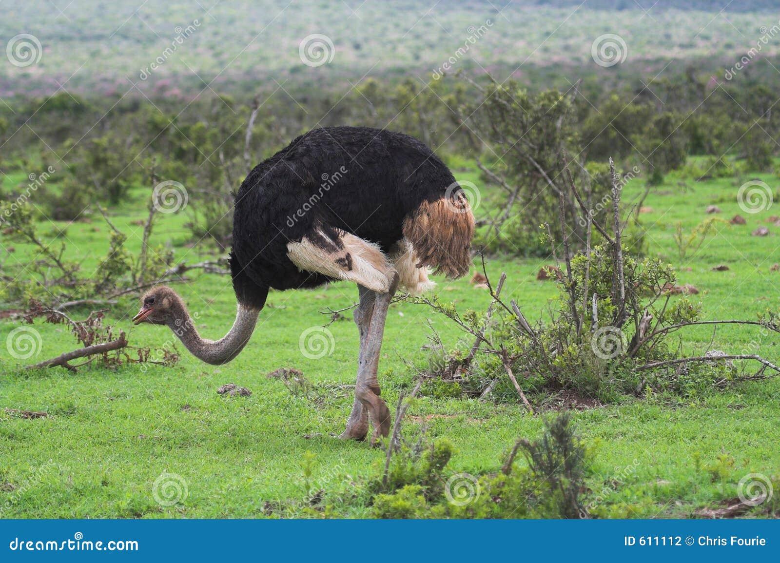 Het Voeden van de struisvogel
