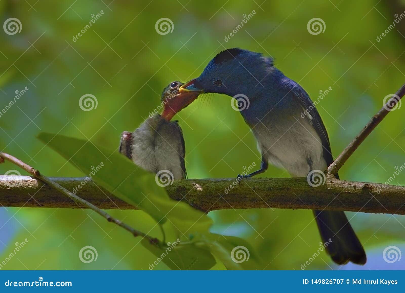 Het voeden van de vogel van de kindmonarch