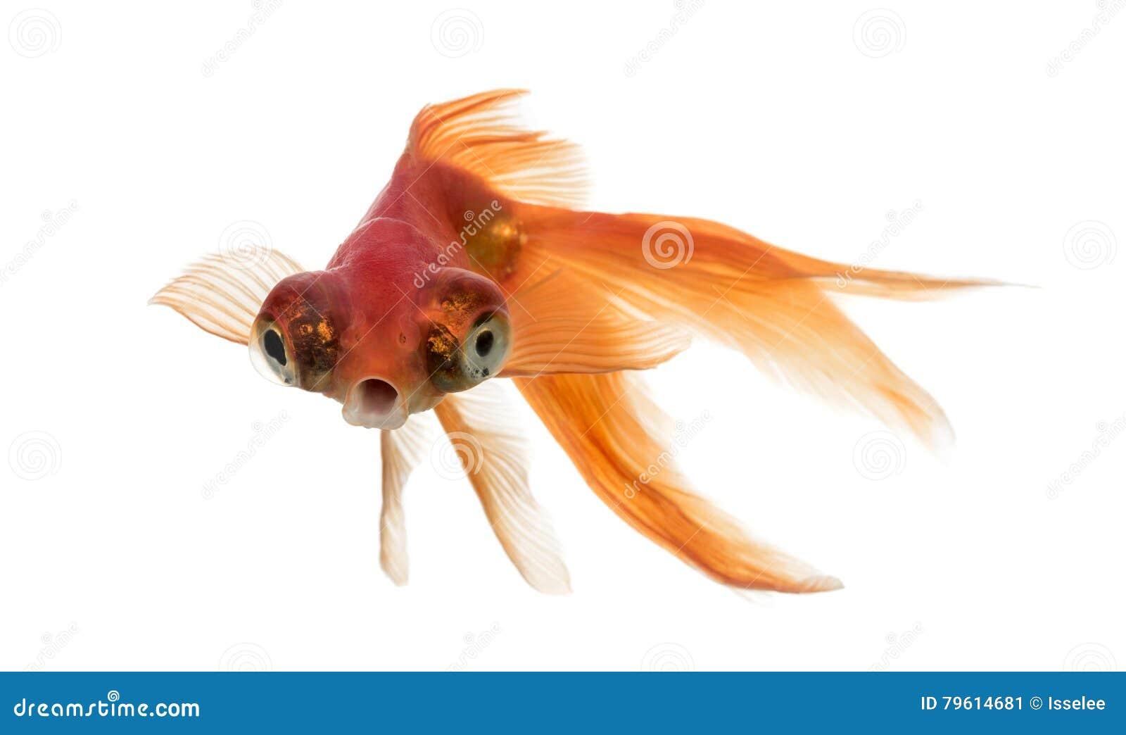 Het vooraanzicht van een Goudvis in water islolated op wit