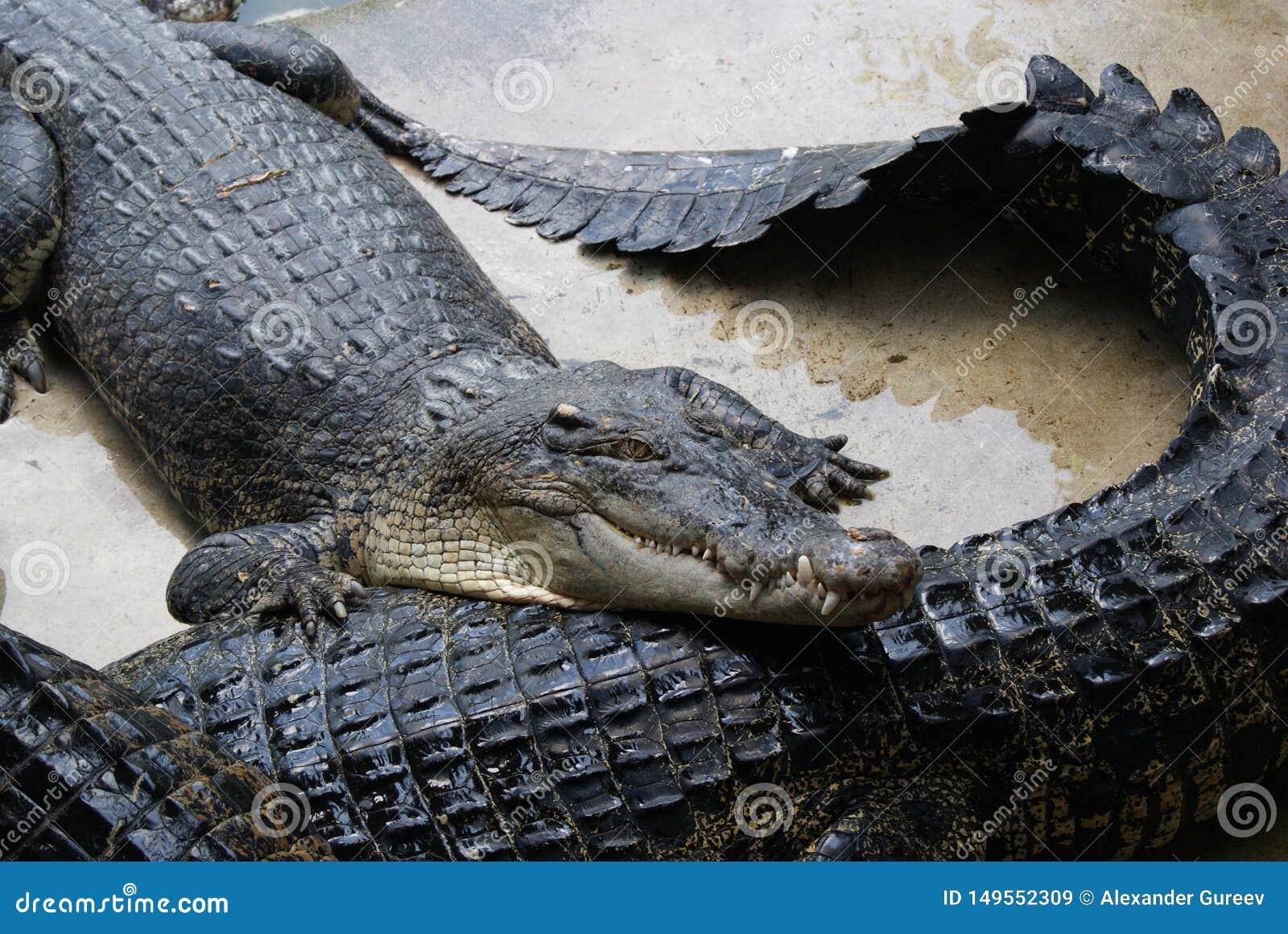Het wachten op het voeden Op een krokodillandbouwbedrijf in Thailand