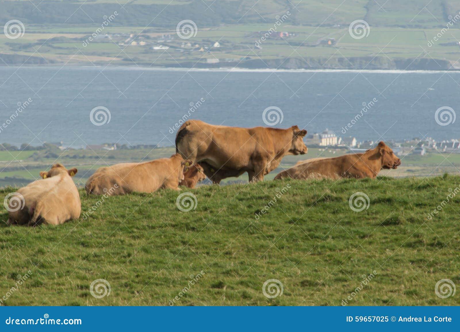 Het weiden van de koe